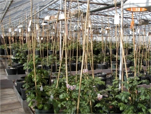 Greenhouse facility at Michigan State University where potato crosses are made.
