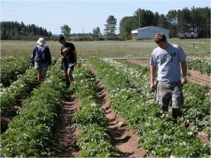 The 12-hill potato plots are monitored throughout the growing season.