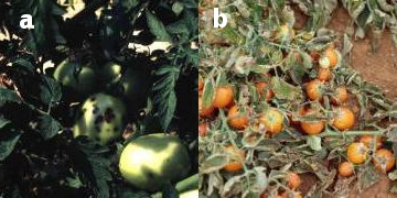 Bacterial Spot - symptoms on fruit and defoliation