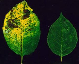 Cherry leaf spot susceptible and resistant leaves.