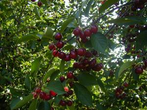 Montmorency tart cherry branch with fruit.