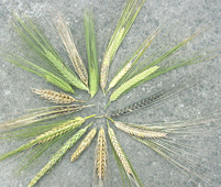 Diversity of barley