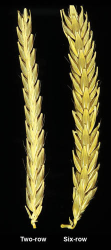 Two-row and six-row barley