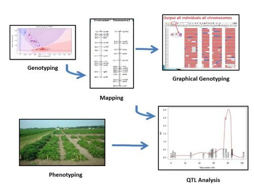 Genetic Mapping and QTL ysis – Plant Breeding and Genomics on marker assisted selection, gene mapping, copy-number variation, test cross, quantitative genetics, genetic linkage, dihybrid cross,