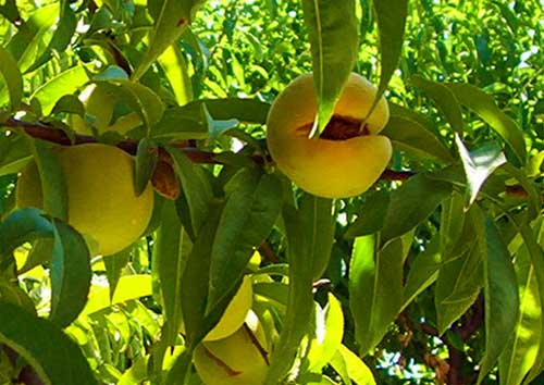 ripe peaches hanging on a tree